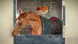 Former racing horse and chicken strike world's unlikeliest friendship