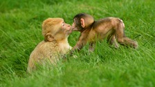 Trentham's Monkey Forest will be reopening with a special 'Lovebirds' weekend