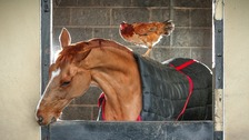 Ex-race horse and chicken strike world's unlikeliest friendship