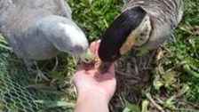 An unlikely pair of geese find love in Llanelli