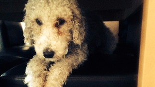 Bedlington Terrier 'repeatedly kicked to within inch of its life' by burglars who broke into family home