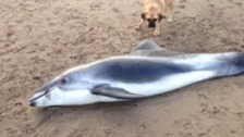 Dead porpoise washes up on East Yorkshire beach