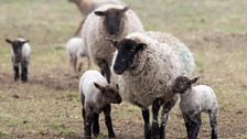 Lambs walk with ewes at Mayfield Farm in 2012