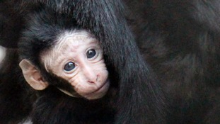 Critically-endangered baby monkey born at London Zoo