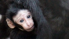 Critically-endangered baby monkey born at London Zoo.