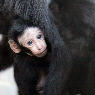 The three-week-old Sulawesi crested macaque.