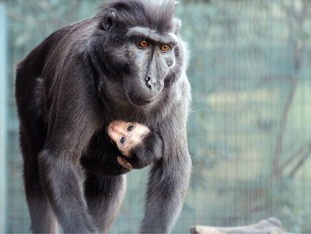 The baby macaque and mother Winoo.