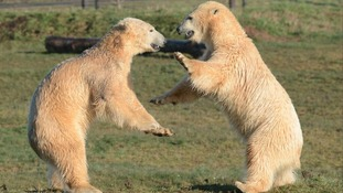 When Nobby met Nissan: Polar bears meet at Yorkshire Wildlife Park