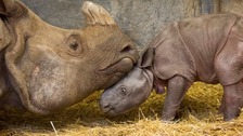 Baby Indian rhinoceros