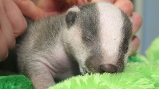 Tiny badger being cared for at Somerset rescue centre