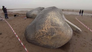 Cost of removing dead sperm whales revealed