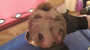 Is this the fattest hedgehog in the West?