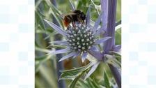 Bee on non-iridescent flower.