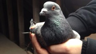 The Queen's pigeon