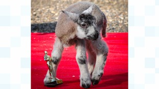 A lamb gets ready for the Oscar's this weekend.