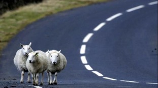 Drivers have complained about sheep being on the roads near the Forest of Dean