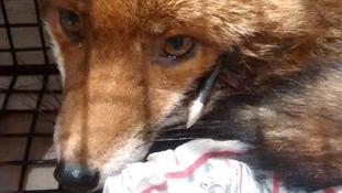 Fox found shot through head with crossbow