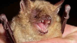 Say hello to Geoffroy's bat