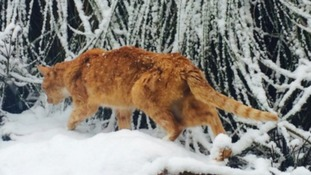 A cat braves the freezing conditions to explore a winter wonderland.