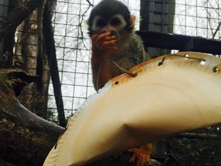 Squirrel monkeys eat primarily primarily fruits and insects.