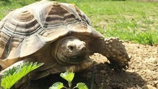 Tank the giant tortoise was stolen from his Sevenoaks home.