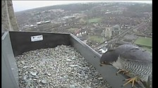 Peregrine falcon on spire of Norwich Cathedral