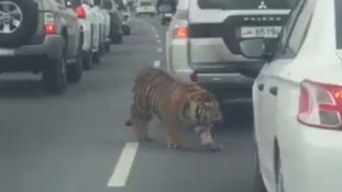 Escaped 'pet' tiger spotted roaming on motorway