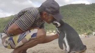 Penguin returns every year to man who nursed it back to health