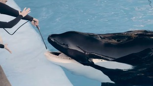 'Blackfish' killer whale's health deteriorating, says SeaWorld
