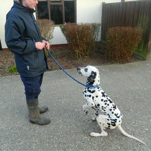 Harvey the Dalmatian
