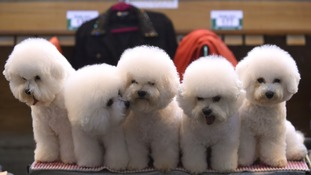 Thousands of dogs compete for glory at this year's Crufts