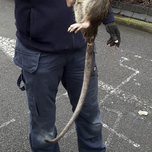 A good tail: Electrician James Green with the giant rat