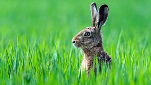 Hare coursing is one of the most common wildlife crimes in the Borders.