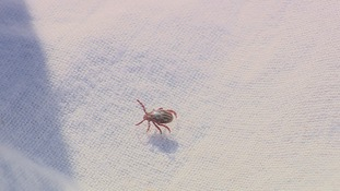 A tick found in the field.