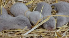 Asian short-clawed otters quadruplets