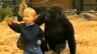 Tansy gorilla