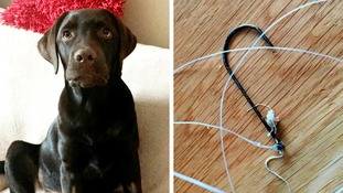 Four-month-old Labrador Otis had a narrow escape
