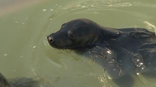 Blackjack the seal pup