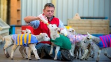 Lambs in knitted jackets