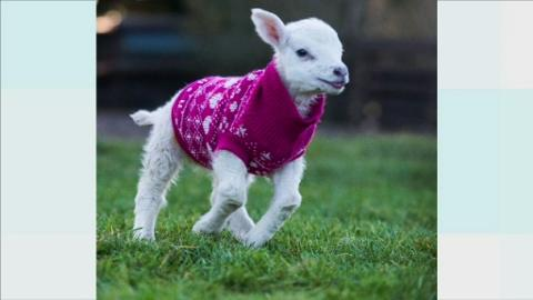 G-KNITTED_LAMBS