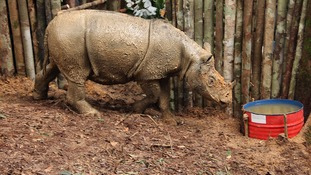 Critically endangered rhino seen for first time in 40 years