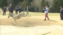 The zebra gave police officers a long run around