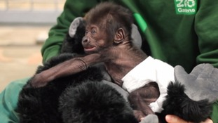 "This adorable baby gorilla born by emergency Caesarean section is doing ""really well"" and has even giggled for the first time"