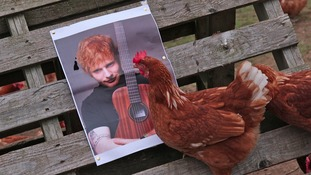 Pampered hens relax to Egg Sheeran