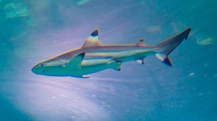 Black tip reef sharks settling into their new home in Tynemouth