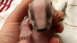 Baby badgers left to starve after their mother is shot