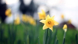 Daffodils - a sign of spring and new life