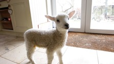 Lucky the lamb has now made a full recovery.