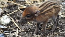 Critically endangered warty piglet