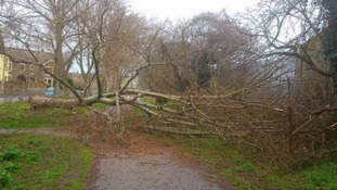 A tree brought down by the strong winds in Lowestoft, Suffolk.